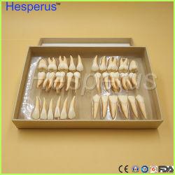 2,5 fois 32 dents permanentes modèle PCS adulte