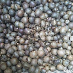 Hongchazhongzi China Hot vendendo sementes novas favoráveis do chá preto