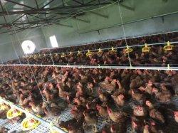 Полный комплект автоматического Оборудования для птицеводства для бройлеров турецкий