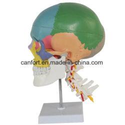 Lebensgrosses menschliches Skeleton Schädel-Modell mit dem Standplatz, gefärbt