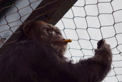 Scimpanzè della maglia della corda degli ss/Pongidae flessibile/allegato animale/del primate