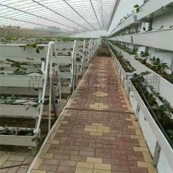 Fragola rialzata per esposizione, semi-allevamento, mercato di fiori o verdure o centro commerciale, ristorante ecologico o ricerca scientifica