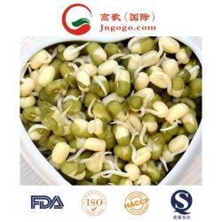 China Alta calidad brotó Green Mung Bean Proveedor