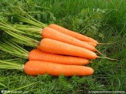 Frais de qualité supérieure de la carotte à partir de 2020 la nouvelle récolte de l'exportation au Japon