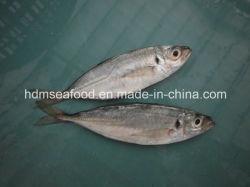 Interi pesci congelati rotondi degli sgombri
