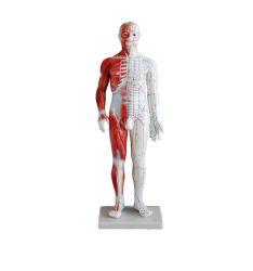 인간 침술 모델 60cm 침술 및 근육 모델 남성 모델