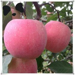 Haut de page chinois de fruits frais en vrac Apple
