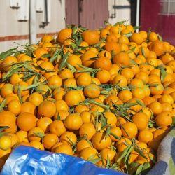新しいマンダリンオレンジの中国の規則的な製造者