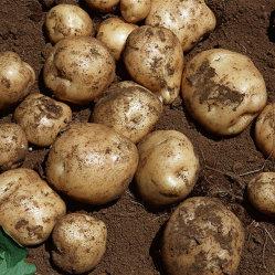 Patata fresca della nuova raccolta dall'alimento sano di alta qualità all'ingrosso della Cina