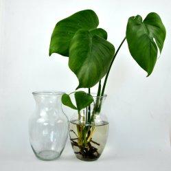 Boca ancha el vientre de la planta de agua clara Hydroponic jarrón de cristal de la decoración del hogar