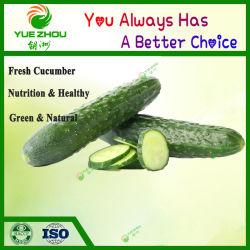 Экспорт органических Зеленый свежий огурец с дешевой цене