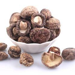 Natürlicher wilder gute Qualitätsessbarer Shiitake-Pilz