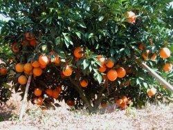 Qualitäts-Navel-Orange