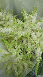 La mejor calidad única de flores frescas cortadas Astilbe Chinensis de regalos verdes