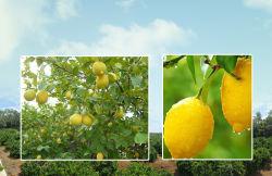 卸売のための新しいレモン濃縮物ジュースの粉