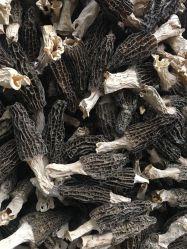 Funghi asciutti della spugnola del seme della spugnola