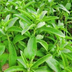 Природные дополнительного сырья лекарственные препараты Steviosidera97 Stevia выдержки Диетические дополнения восстановления Низкокалорийное