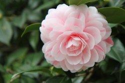 Моющие средства экстракт чая Saponin Camellia 60%-98%