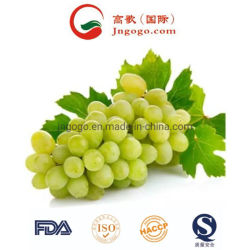 Nova cultura de alta qualidade, fresca de uvas verdes para a exportação