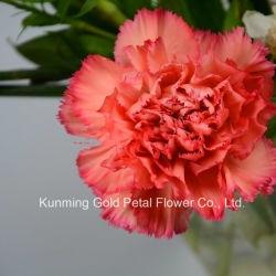 Декоративная Salable Wholsales свежие срезанные цветы оранжевый Carnation