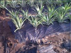La agricultura de la piña de cine negro de mantillo exportados a perforación Maritius