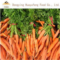2019 El nuevo cultivo de zanahoria fresco chino con precio competitivo