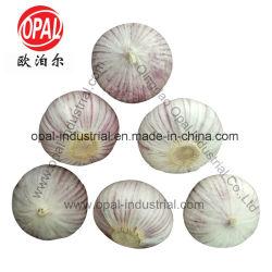 3.0cm 3.5cm 4.0cm 4.5cm Chinees kiezen solo Vers Purper Knoflook uit