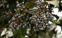 Ligustrum Lucidum МТА/глянцевая Privet фрукты АКАДЕМИЯ 98% Oleanolic кислоты