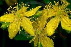 Fabricant de l'extrait naturel de l'Hypericum perforatum Poudre