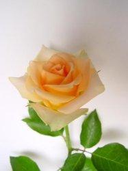 Flower-Rose fraîches coupées