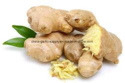Produtos Anqiu Shandong chineses Air-Dried gordura fresca de raiz de gengibre por grosso