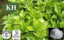 Extrato de folha Eucommia Aucubin 98% Min. por HPLC