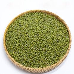 In het groot Verse Mung Bonen die Van uitstekende kwaliteit Rang ontspruiten