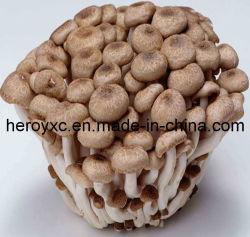 Todos os tipos de cogumelos (fungos) Extracto em pó
