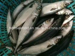 Grosse Größen-neue ansteckende Fisch-400-500&500g+ gefrorene pazifische Makrele