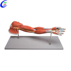 教育用の医療用筋解剖モデル
