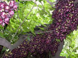 100%の純粋で自然なLドーパのMucunaのPruriensのエキスの粉