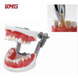 Extraktion Training Modell Hochwertige Zahnmodell