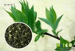 100%純粋で自然なEucommia Ulmoidsの葉のエキスの粉