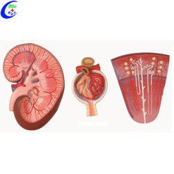 医学解剖学のティーチングエイド腎臓教育モデル