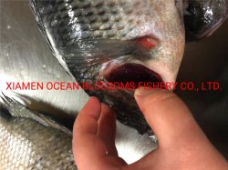 Gefrorene Tilapia-Phasenfische vom Oceanblossoms Lieferanten kaufen