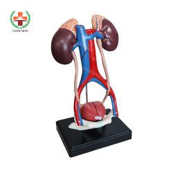 Het plastic Urine Anatomische Model van het Systeem van de Anatomie van het Systeem van het Model van het Systeem Urine Model Urine