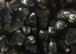 Congelés noir bouilli Clam