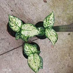 따뜻한 세일 실내 장식용 실제 식물 또는 실외 흰색 아그라오네마 SPP 보나사이