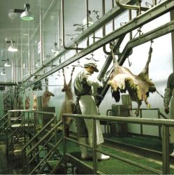 Apparatuur voor het slachten van varkens, vee en schapen/u kan halal slachten