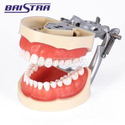 Alimentação dentários em Ortodontia dentes padrão modelo para uso médico