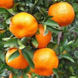 De Sinaasappel van Mandairn van Yongchun