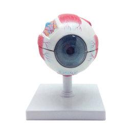 3D Color de la Educación la Ciencia Médica de seis veces agrandamiento de la Anatomía del ojo modelo