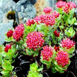 Rosavin puros e naturais Salidroside Rhodiola Rosea Extrato de Pó de raiz