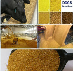 Destiladores Grãos Secos com Solubles / Ddgs High Protein Animal Feed